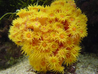 The Sun coral In the reef