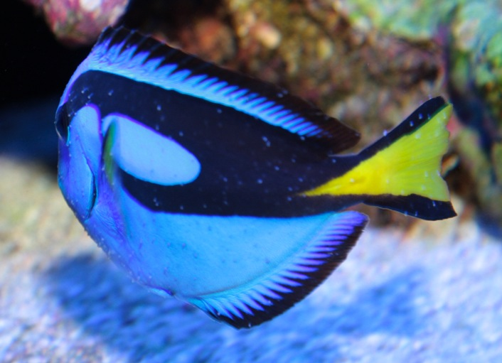 A blue tang inflected with Ich commonly known as white spot.