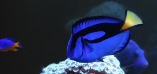Blue tang striking blue coloration