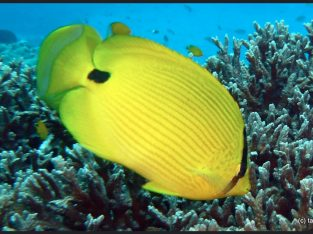 Andaman Butterfly fish
