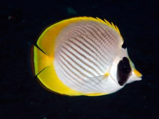 Panda Butterfly Fish (Chaetodon-Adiergastos)