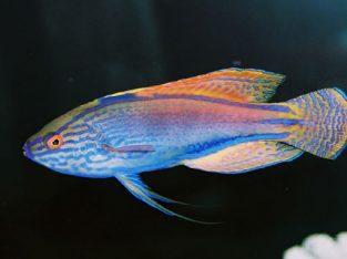 Lineatus, Australian