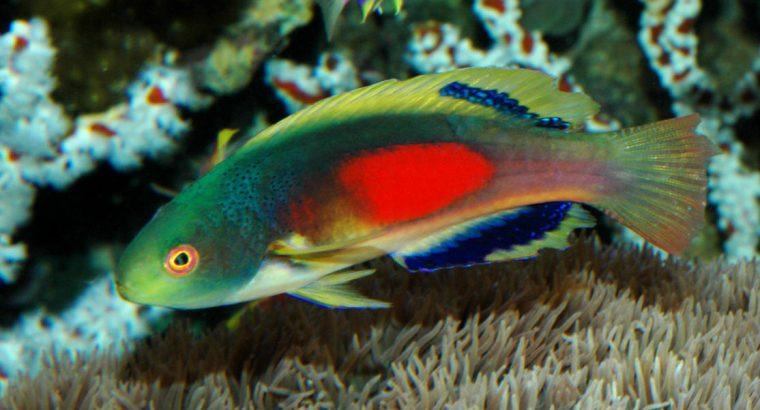 Scott's Multicolor Wrasse