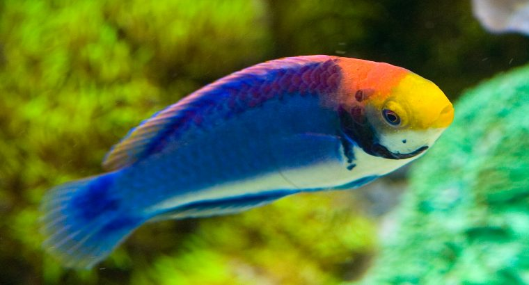 Painted Fairy Wrasse
