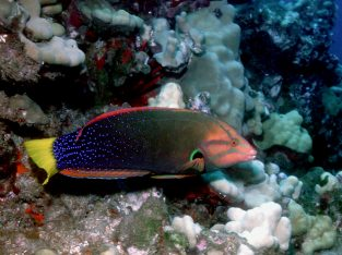 Red Coris Wrasse (Adult)