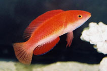 Red Parrot Fairy Wrasse