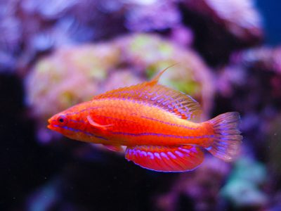 The Reef Bully: Confession of a Misunderstood Fish
