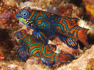 A guide to Dragonets mandarin fish (Synchiropus)